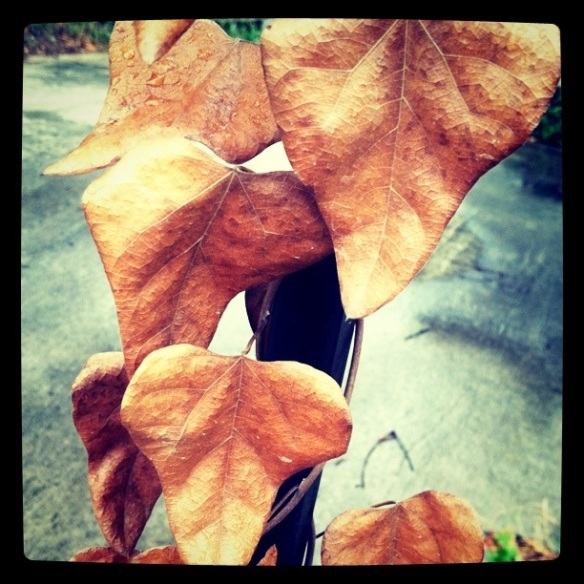 yellowing vine