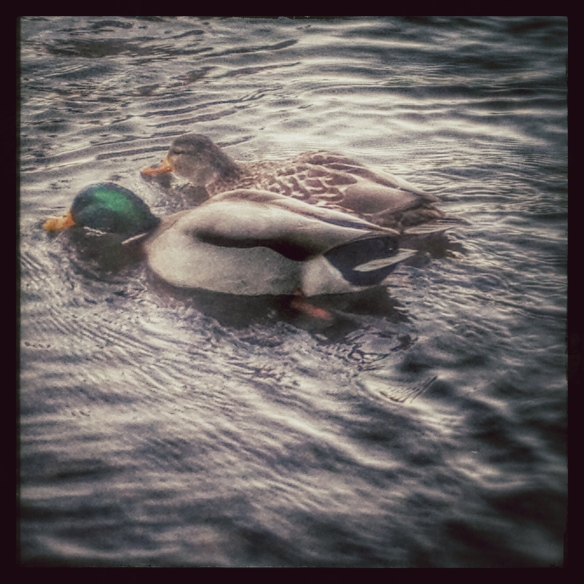 ducks by Katariina Fagering