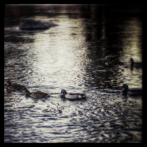 ducks on deschutes by Katariina Fagering