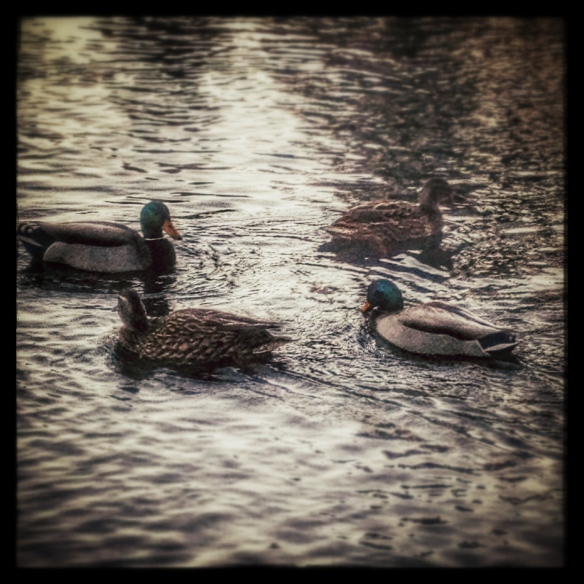four ducks by Katariina Fagering